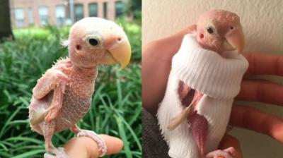 Rhea, who also goes by the name 'naked birdie', has captured the hearts of thousands of people on social media. The two-year-old lovebird suffers from psittacine beak and feather disease (PBFD) which renders her unable to grow feathers and fly. (Photo: Instagram/@rhea_thenakedbirdie)