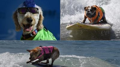 More than 60 dogs gave cats a rest and instead chased waves during the eighth annual Surf City Surf Dog competition at Huntington Beach near Los Angeles (Photo: AFP)