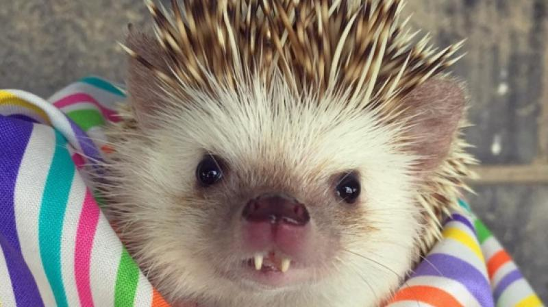 If you never found hedgehogs adorable before, then this African Pygmy hedgehog from Utah will surely warm your heart. Sir Hodge Huffington the Cricket Slayer has become an Instagram sensation because of his vampire-like fangs. (Instagram/@huffthehedgehog)