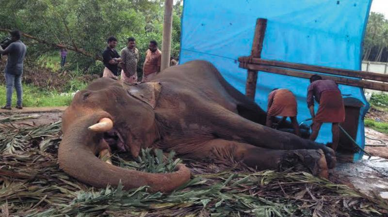 Venattumattam Ganeshan, the tusker which died last Wednesday, had been suffering from tuberculosis