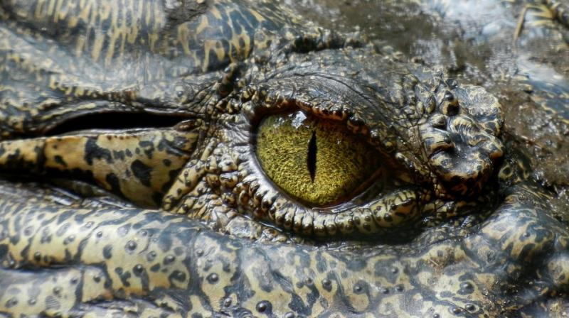 Nile crocodiles can grow to 18 feet long and weigh as much as a small car. (Photo: Pixabay)