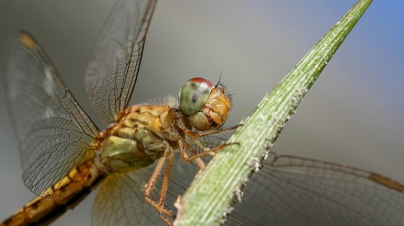 Dragonfly can fly 7081 km without stopping, can