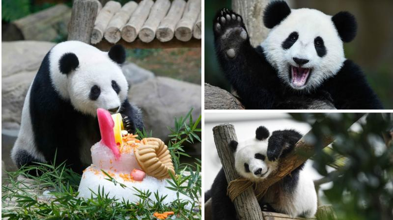 Liang Liang, a female giant panda from China celebrated her 10th birthday with her one-year-old female cub Nuan Nuan at the Giant Panda Conservation Center at the National Zoo in Kuala Lumpur, Malaysia, on Tuesday.