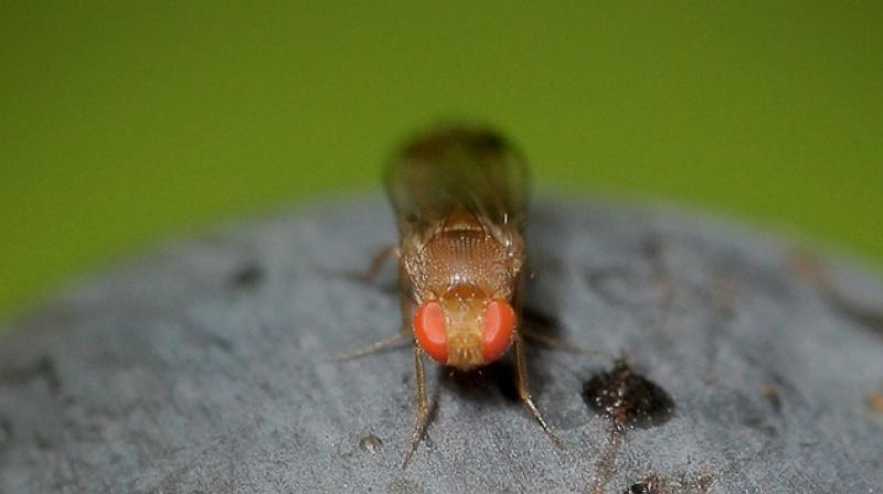 University of Missouri completed studies on fruit flies with a condition that resembles HPV-induced cancer. (Photo: AFP)