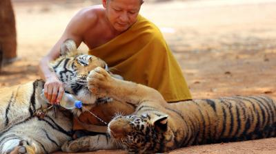 Wildlife officials in Thailand have begun removing some of the 137 tigers held at a Buddhist temple following accusations that the monks were involved in illegal breeding and trafficking of the animals.