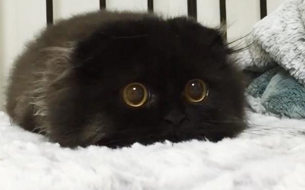 Cat With Huge Eyes Meme