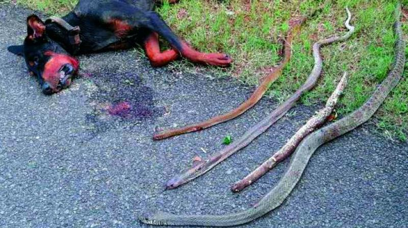 The bodies of Doberman and the cobras he killed.