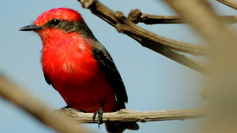Some birds are able to convert yellow molecules to red ones, known as ketocarotenoids.