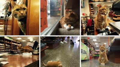 A hardworking ginger cat has been working in a store in New York for the last nine years without ever taking a day off.  The 9-year-old Bobo was brought into the store in Chinatown, New York, as a kitten by an employee as he had nowhere to live. (Photo: Instagram/ @tabby_bobo)