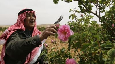 Its fame is such that the damask rose features in Shakespeare, but for Syrian farmers growing the flower that produces the heady-scented oil used to flavour Turkish delight, tragedy may await.
