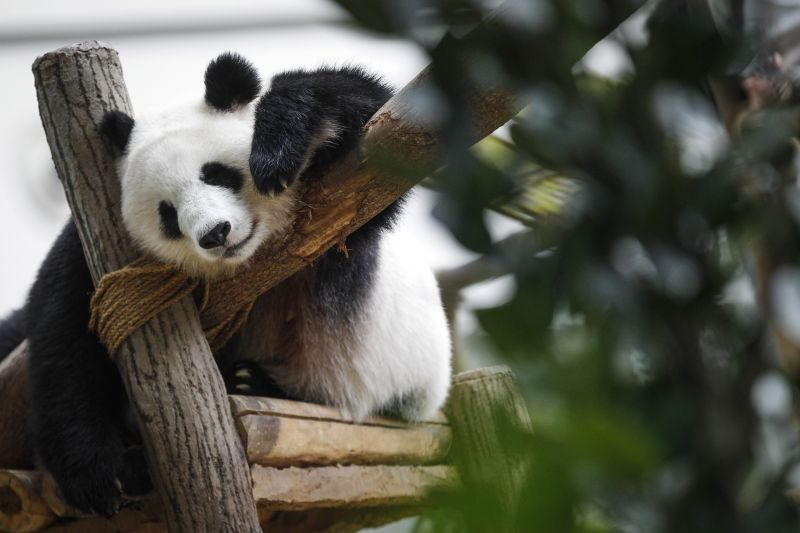Giant Panda Liang Liang Celebrates 10th Birthday With Her Cub In