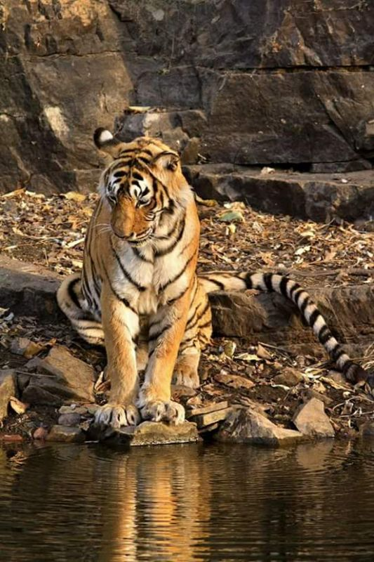 Machli was also known as Queen of Ranthabore (Photo: Facebook/Ranthambore National Park)