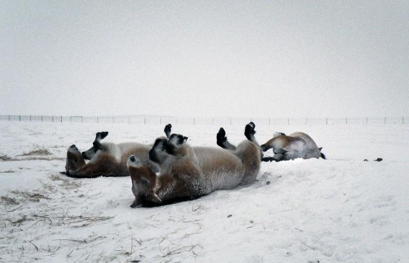 Six Przewalski horses born at a reserve in the south of France are now spending their first winter in Russia's flagship reintroduction project for the species. (Photo: AFP)
