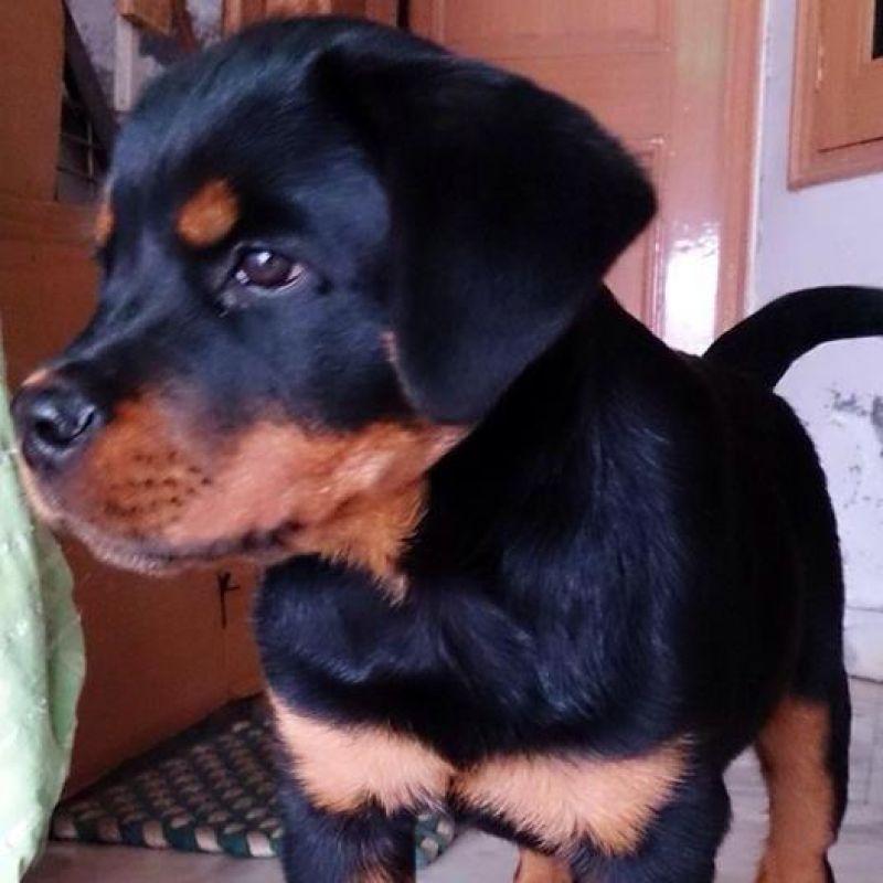 Tyson, Capt. Pawan Kumar's young Rottweiler. (Photo: Facebook)