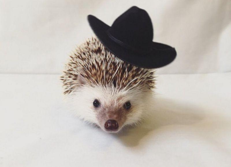 This 'vampire hedgehog' is too cute for words