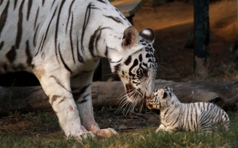Khushi, a white tigress, plays with her newborn cub at the state zoological park in Gauhati, India. (Photo: AP)
