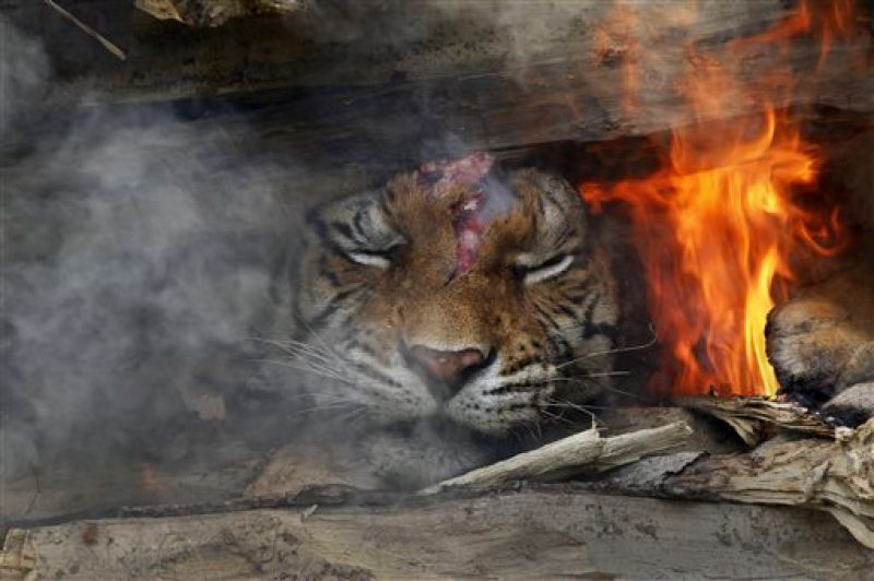 n this Sunday, April 11, 2010, file photo, a 4-year-old male Royal Bengal Tiger, named Joy, is cremated after it died at the Assam State Zoological Park in Gauhati, India. (Photo: AP)