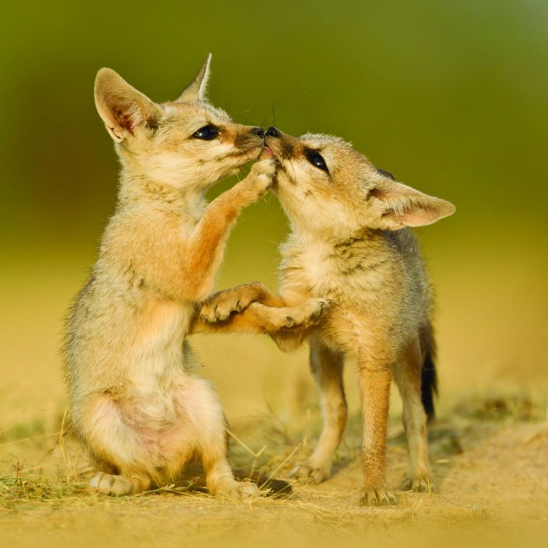A pair of highly adorable Small Indian fox pups at play by a den in the Little Rann of Kutch, Gujarat