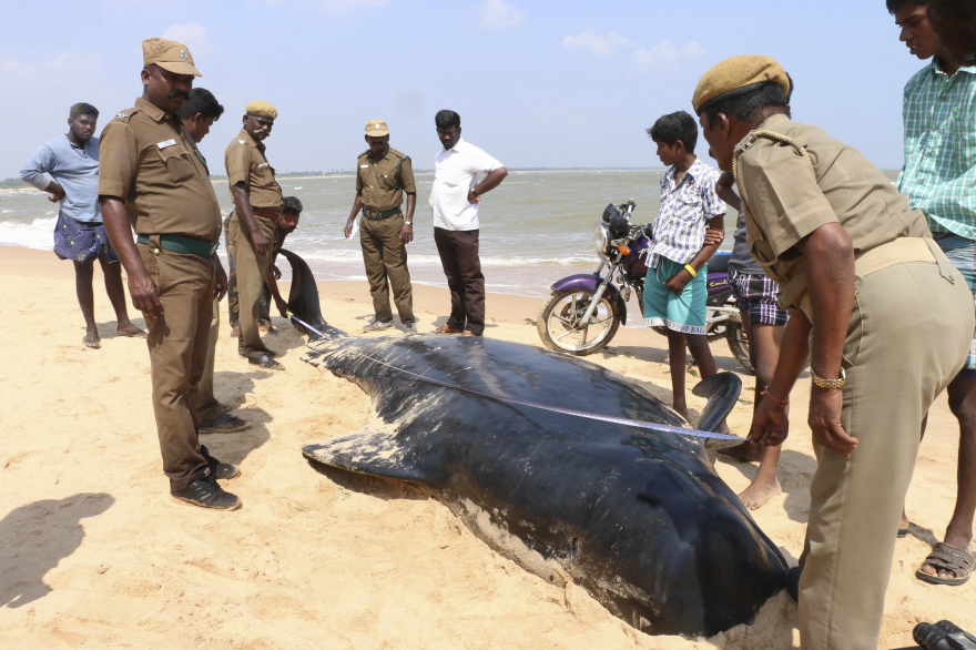 Indian wildlife officials measure one among the dozens of whales that have washed ashore on the Bay of Bengal coast's Manapad beach in Tuticorin district, Tamil Nadu state. (Photo: AP)