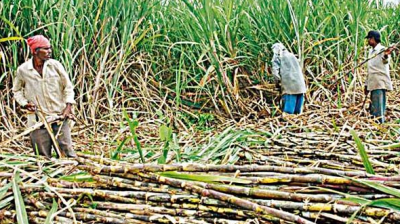 Mills have exported almost an equal amount of raw and white sugar for which the top four destinations are Bangladesh, Iran, Sri Lanka and Somalia, Vithalani said.