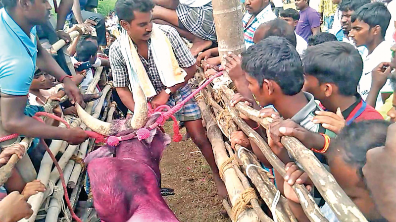 The villagers of Periyagoundapuram in Salem district are conducting the Jallikattu on Tuesday against the Supreme Court's stay. (Photo: DC)