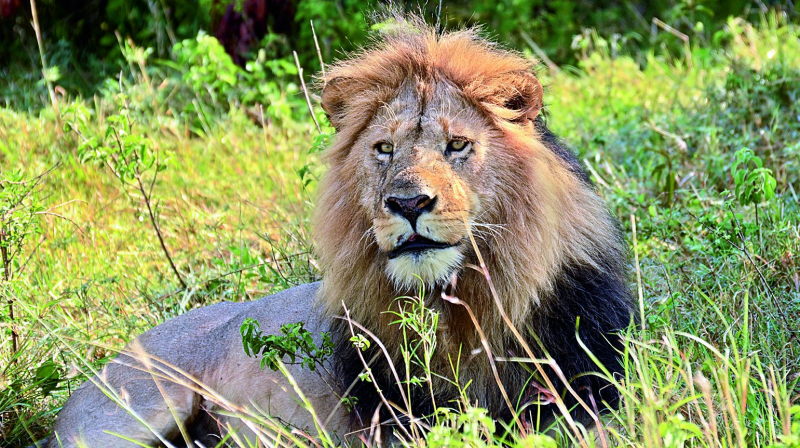 Masai Mara has one of the largest densities of lions.