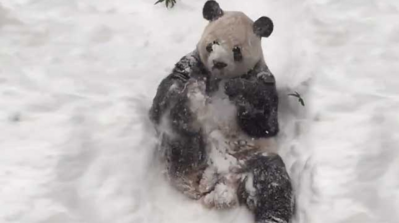 18-year-old, 264-pound (120-kilogram) panda Tian Tian rolling in the snow, throwing it on himself and lying on his back almost as if he's making asnow angel. (Photo: Facebook)