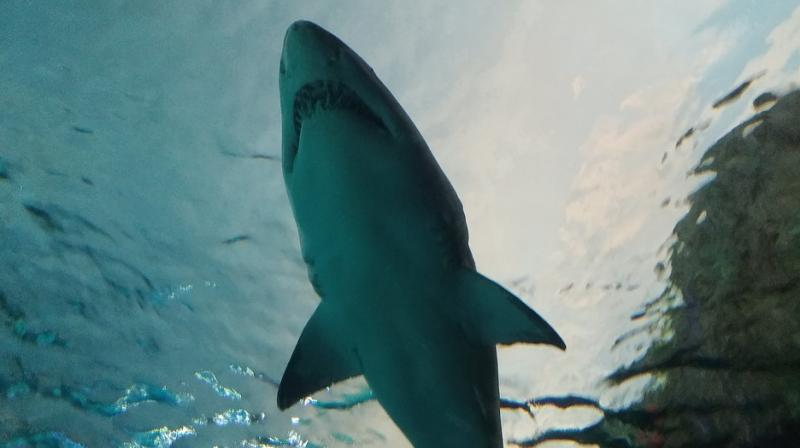 The researchers performed in-water ultrasounds on live tiger sharks and took blood samples for hormone analysis.