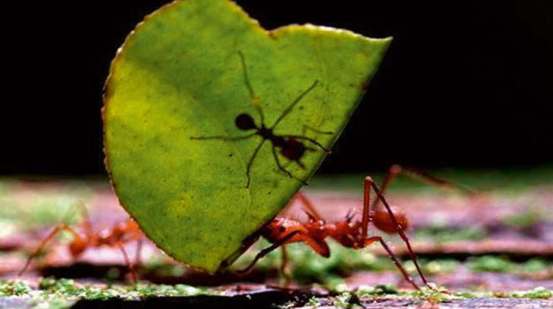 A new species of ant named Anochetus daedalus was found in the Western Ghats. (Photo: Reuters)