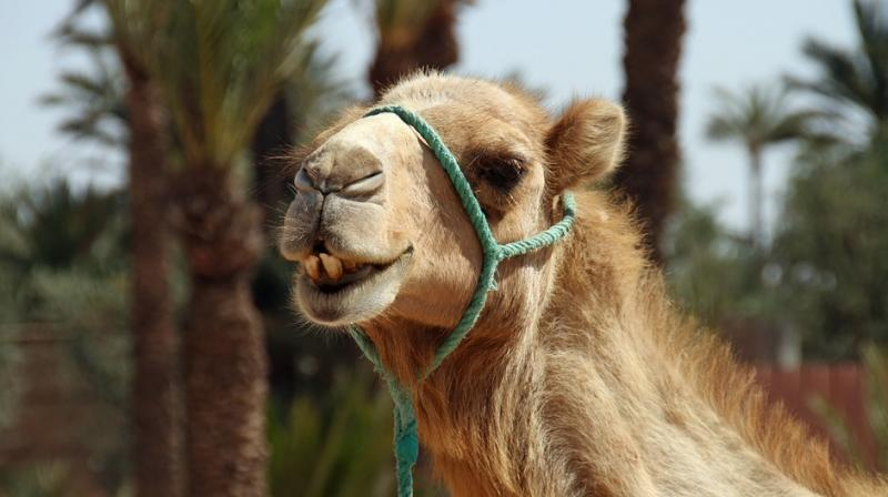 The dreaded MERS virus had also originated from camels. (Photo: Pixabay)