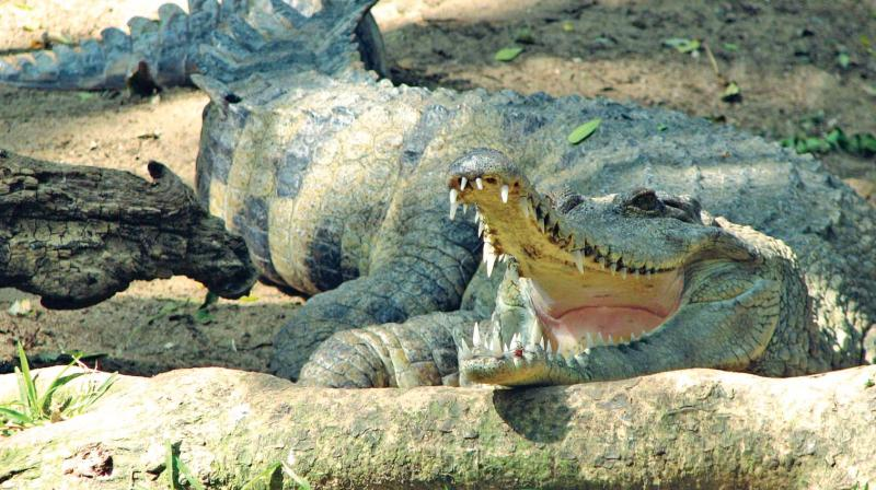 The airline had airlifted two Tomistoma crocodiles from Ahmedabad to Chennai back in 2010.