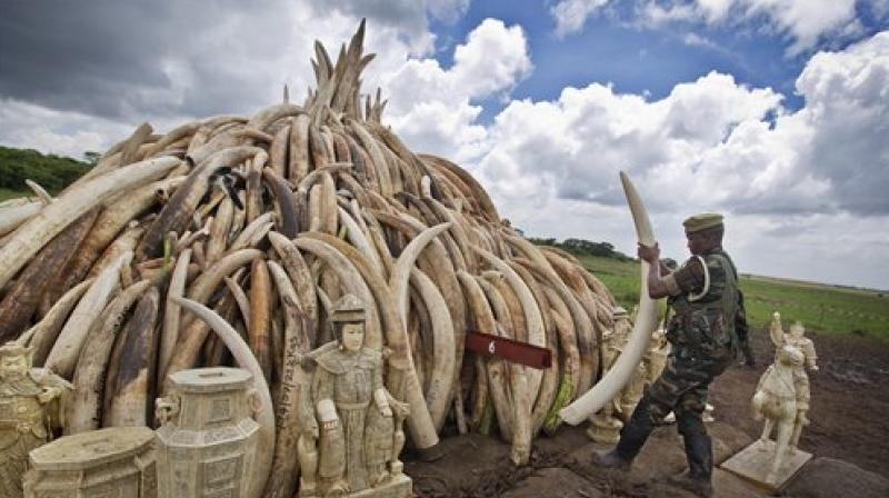 Africa is home to between 450,000 to 500,000 elephants, but more than 30,000 are killed every year on the continent to satisfy demand for ivory in Asia. (Photo: AP)