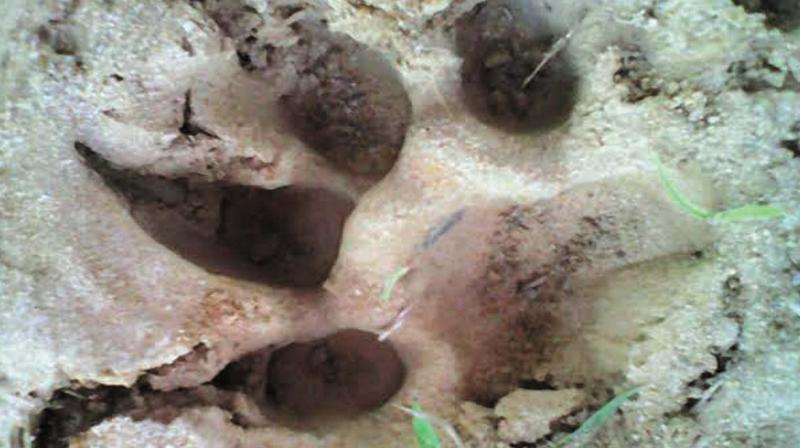 The pug marks of 'Neelagiri Kaduva' found at Kanjani in Thrissur.