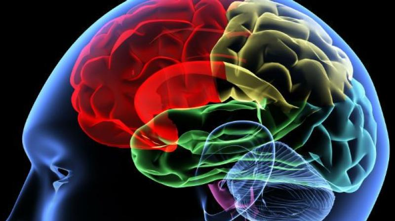 3d Mini Brains Developed In Lab
