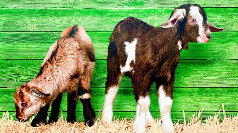 The goats were allegedly grazing on saplings planted by a voluntary, environmental organisation in Huzurabad. (Photo: File   Representational)