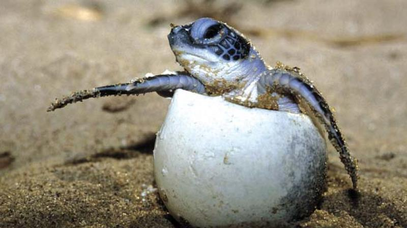 Olive ridley turtle eggs spoiled in heat