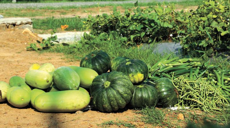 The products including Ash gourd, Ladies Finger, Cucumber, Ridge gourd and snake gourd are being cultivated.