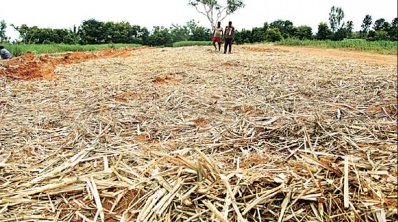 The crop has been drying up in fields due to acute shortage of water.