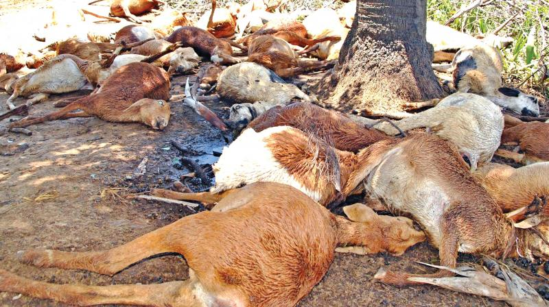The carcasses of 38 sheep struck by lightning (Photo: DC)