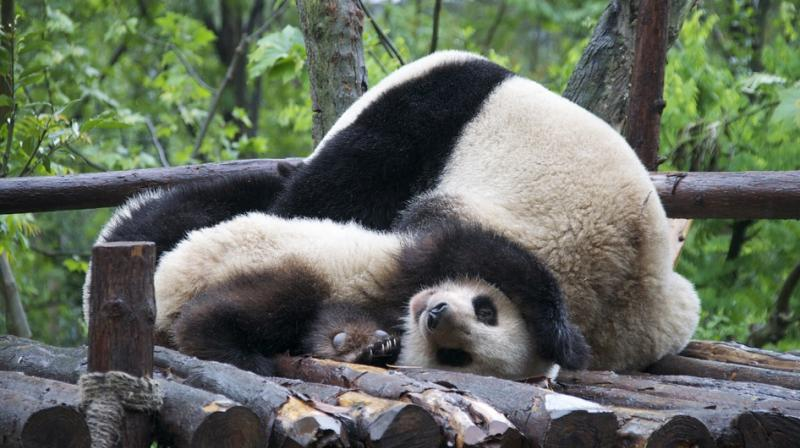 In the last five years, four giant pandas were successfully reintroduced into the wild.