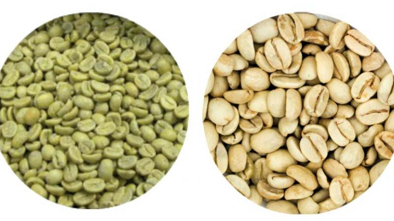 During this period, the coffee was subjected to moist and saline ocean winds, which paled the colour of the beans and increased size considerably.