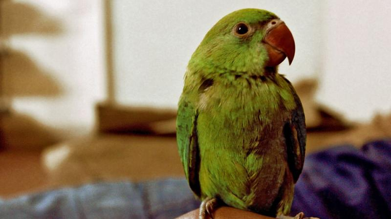 The parrots were produced in the court after an Uzbek national -- Anvarjon Rakhmatjonov -- was arrested by the CISF at the Indira Gandhi International Airport for trying to smuggle them out of the country. (Representational Image)