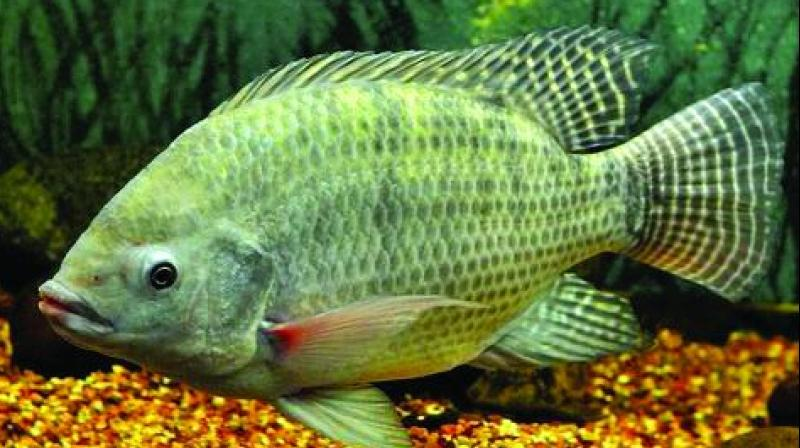 Tilapia threatens local fish for What is tilapia fish