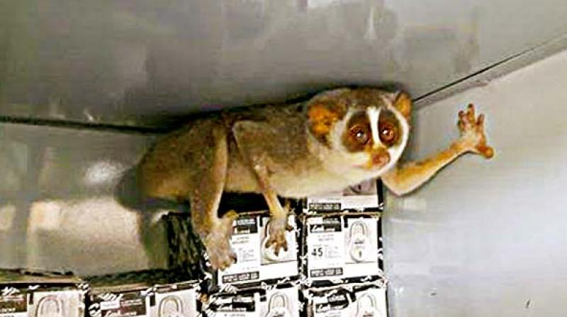 He said that 'Slender Loris' is an indicator species in the region and the health of the same is important for habitat conservation.  (Photo: DC)