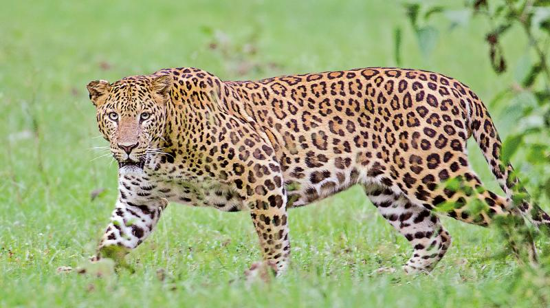 There was an increase in the number of leopards reported in last year's census. About 122 leopards existed in the district.
