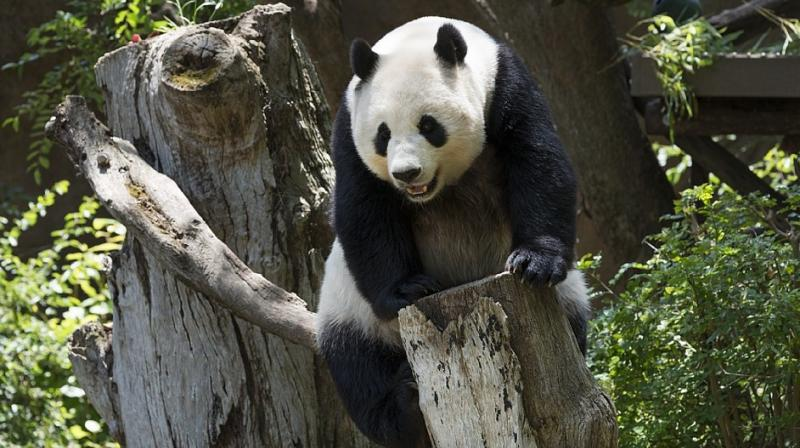 In Europe, giant pandas have only given birth in Austria and Spain, the last in Madrid in 2013.