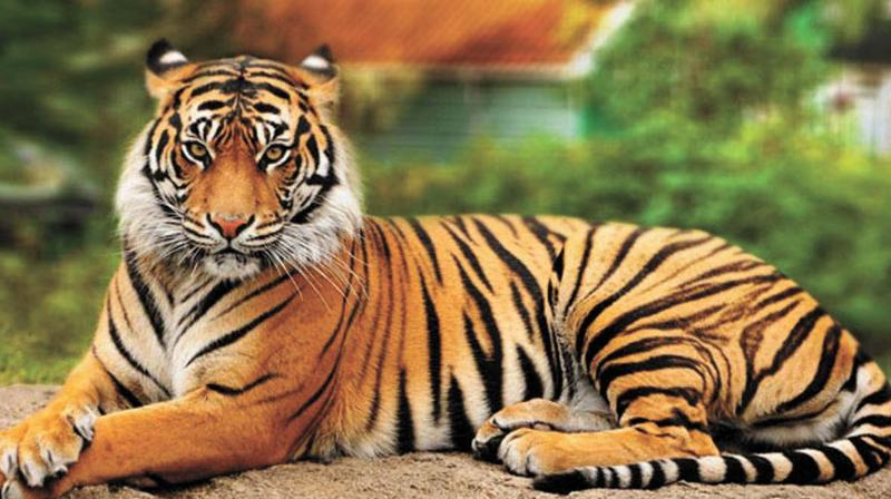 Some five tigers have  reportedly died in the forests or near them in the last two years, according to experts