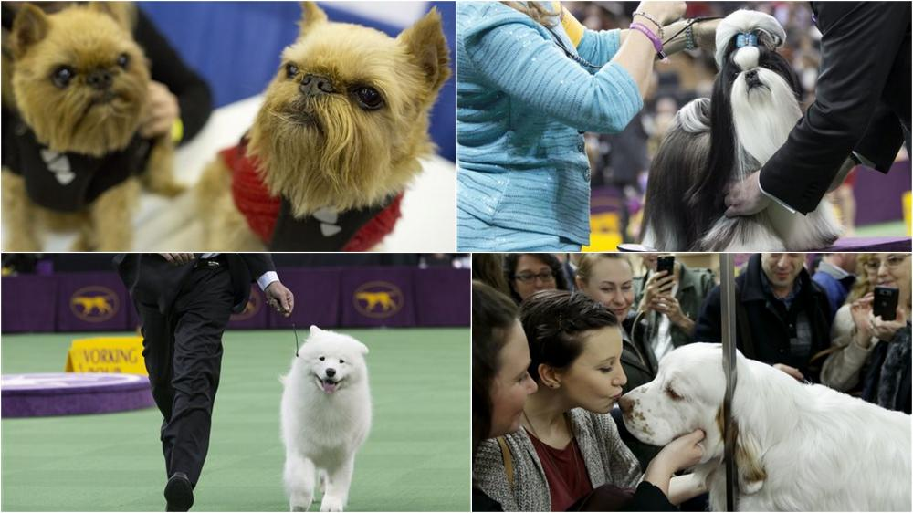 westminster dog show favorites