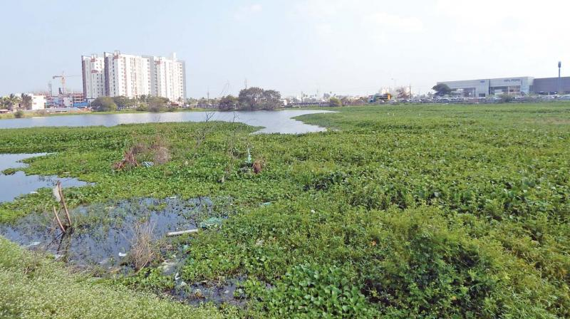 An Invasive plant, Water Hyacinth is seen at wetlands of Chennai.