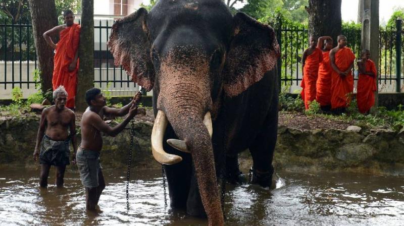 Baby Elephants Become Latest Status Symbol Among Sri Lankas Rich